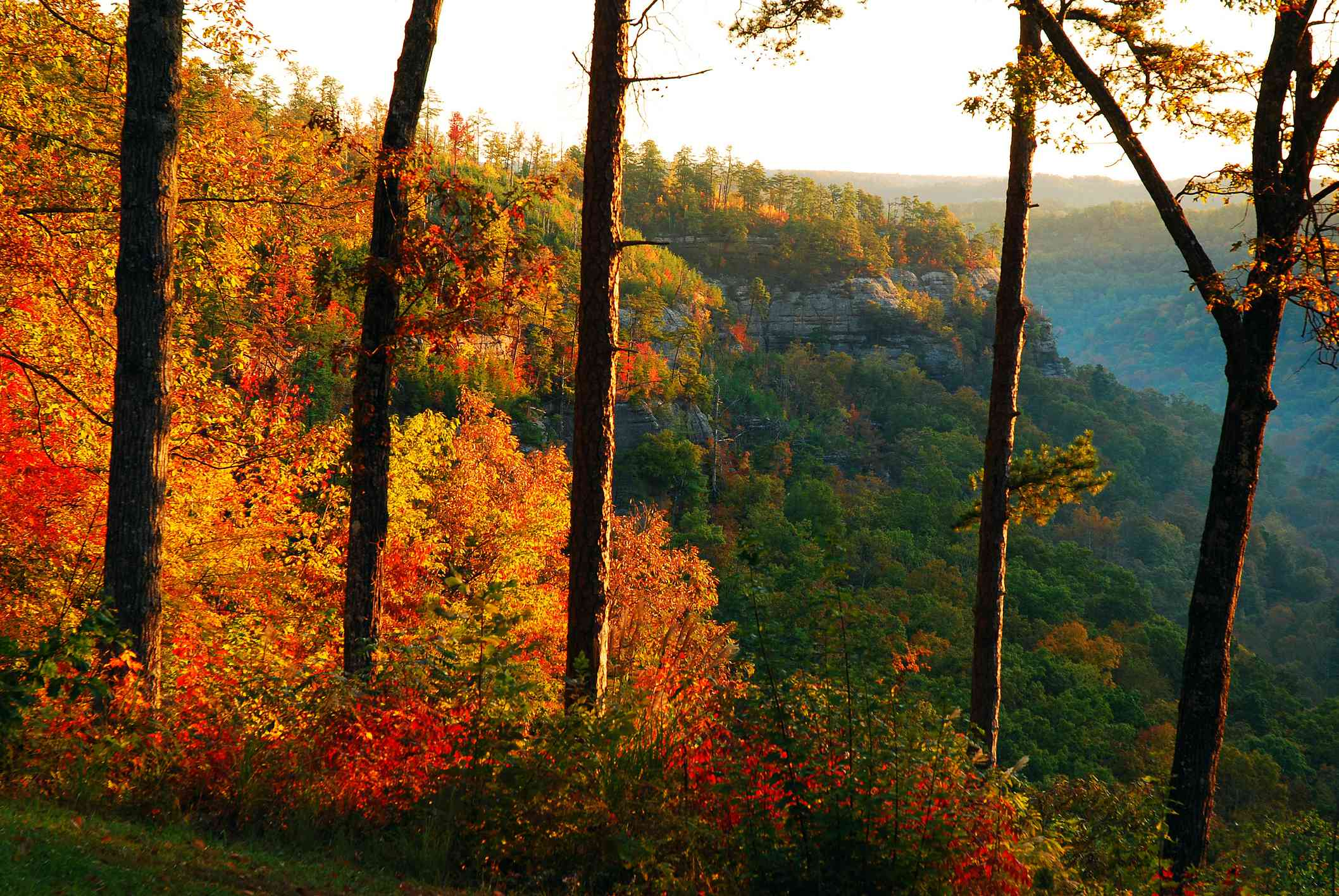 five tall tree trunks and smaller trees in autumn at red river gorge