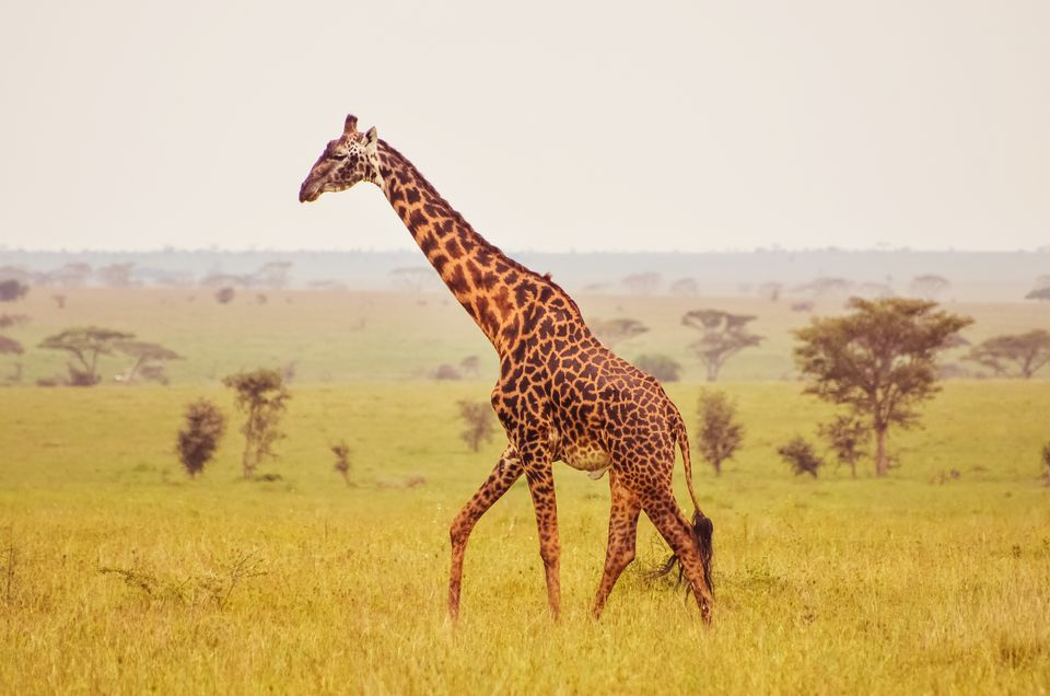 animals giraffe africa safari wild african serengeti misty morning afrika them getty giraffa giraffes where iconic tripsavvy most immagini giraff