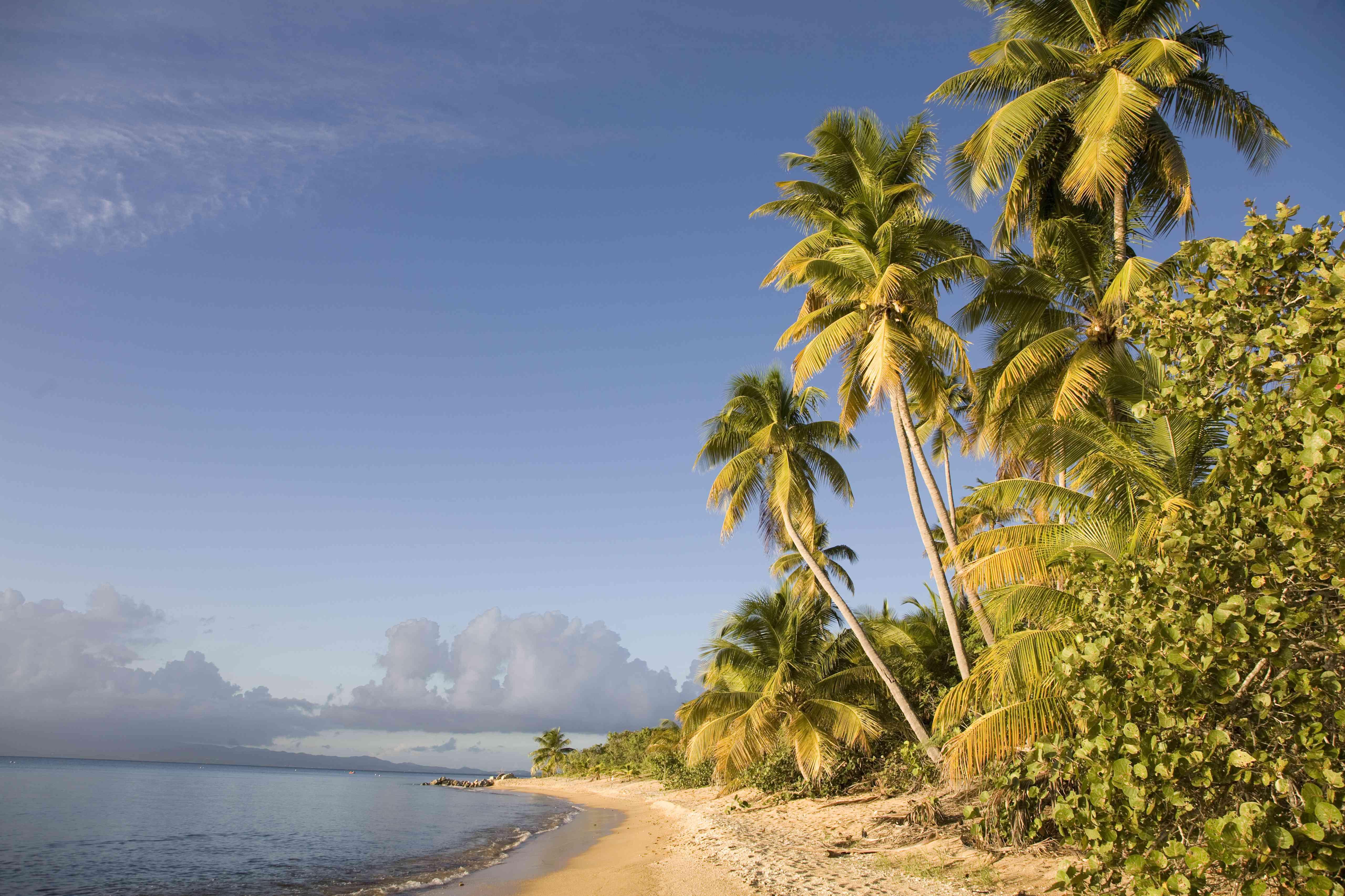 Palm trees on a sandy beach, Green Beach, Vieques, Puerto Rico