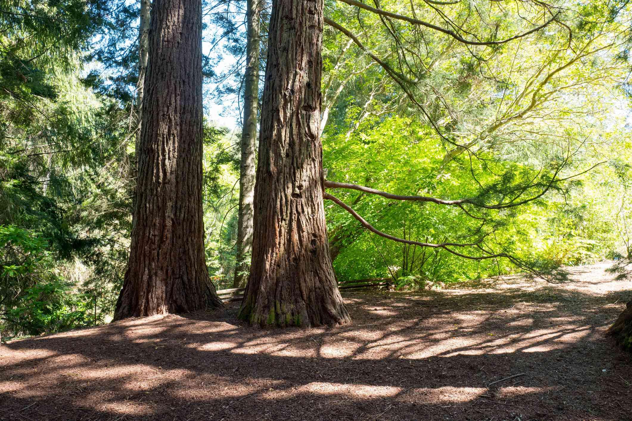 Redwood Trees near Berkeley, California
