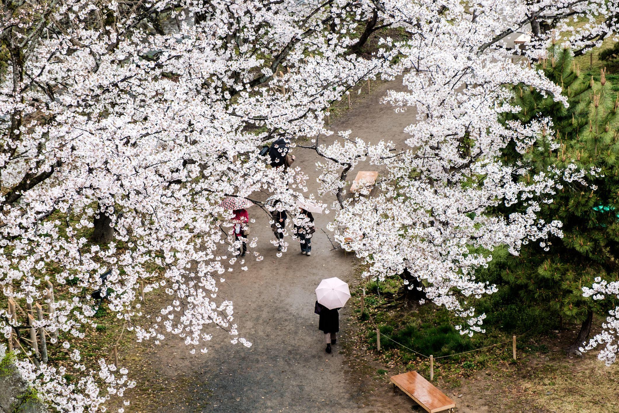 Person Holding Umbrella under Canopy of Cherry Blossom