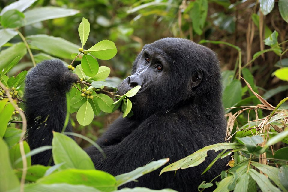 A mountain gorilla in Bwindi Impenetrable National Park, Uganda