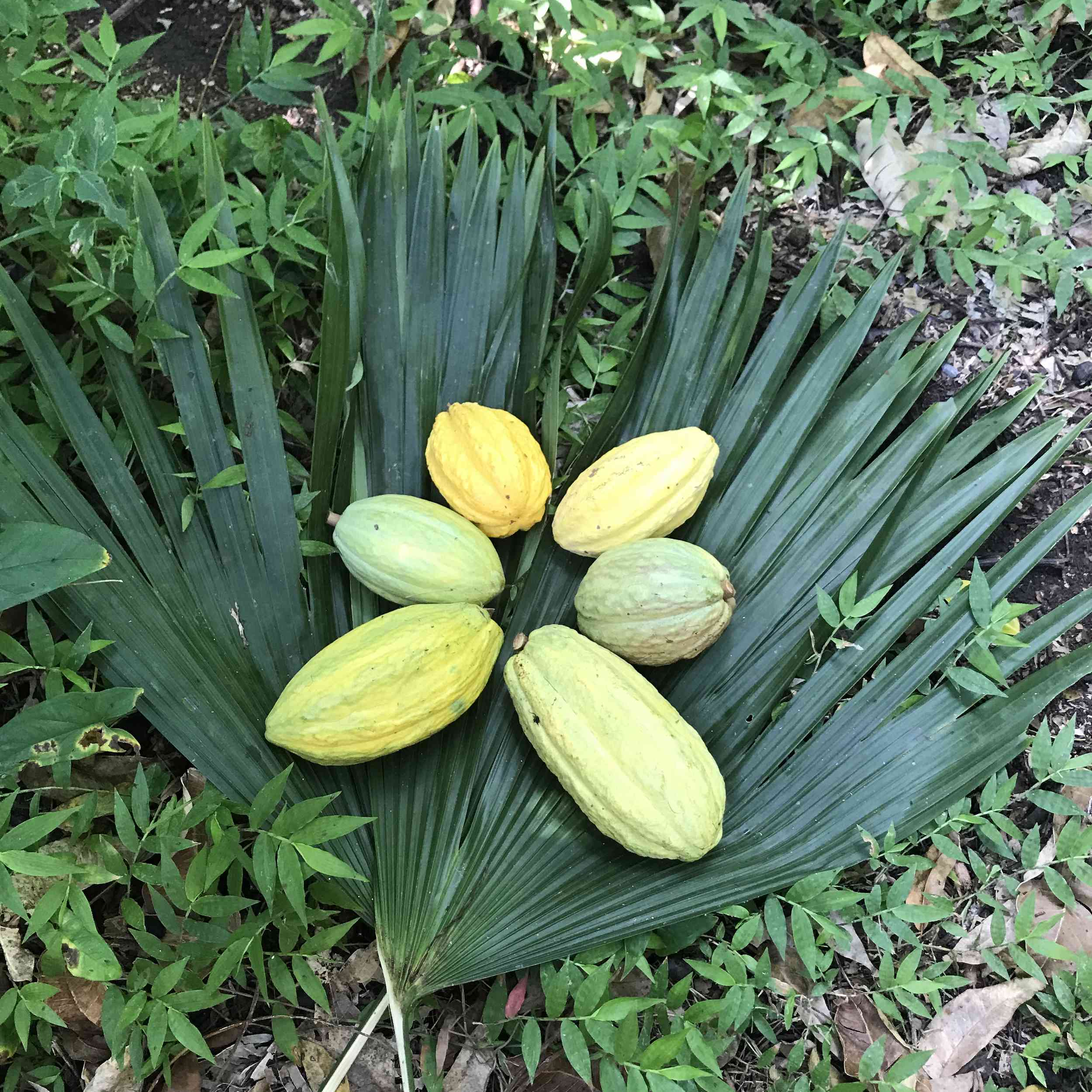 cacao fruit in Belize