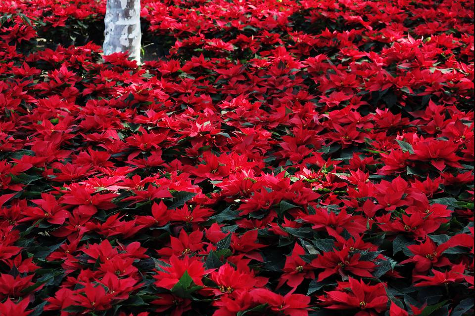 Poinsettia mexican christmas flower history of the poinsettia mightylinksfo