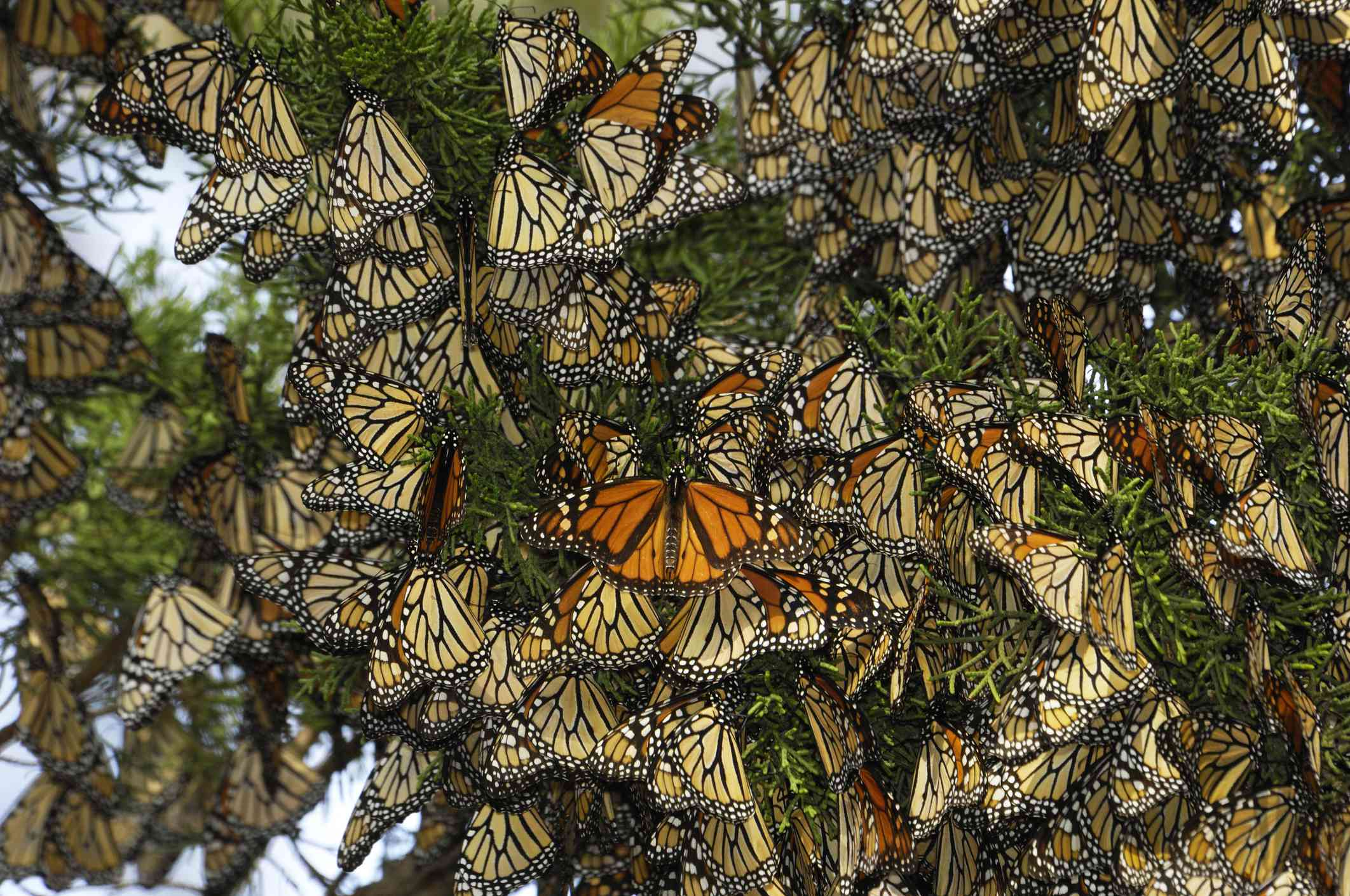 Close-up of Monarch Butterflies on Branch