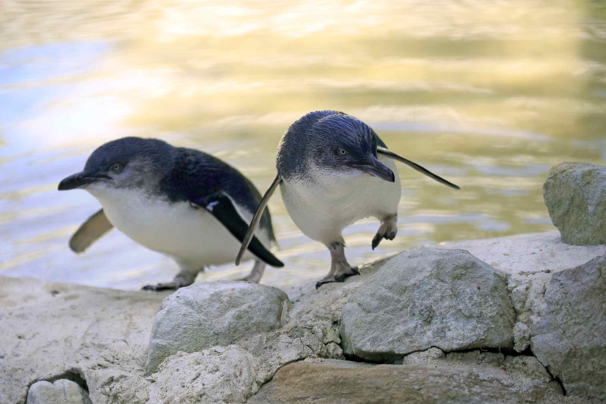 6 Places in Australia to See Penguins