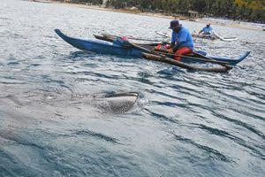Whale sharks in Oslob, Cebu