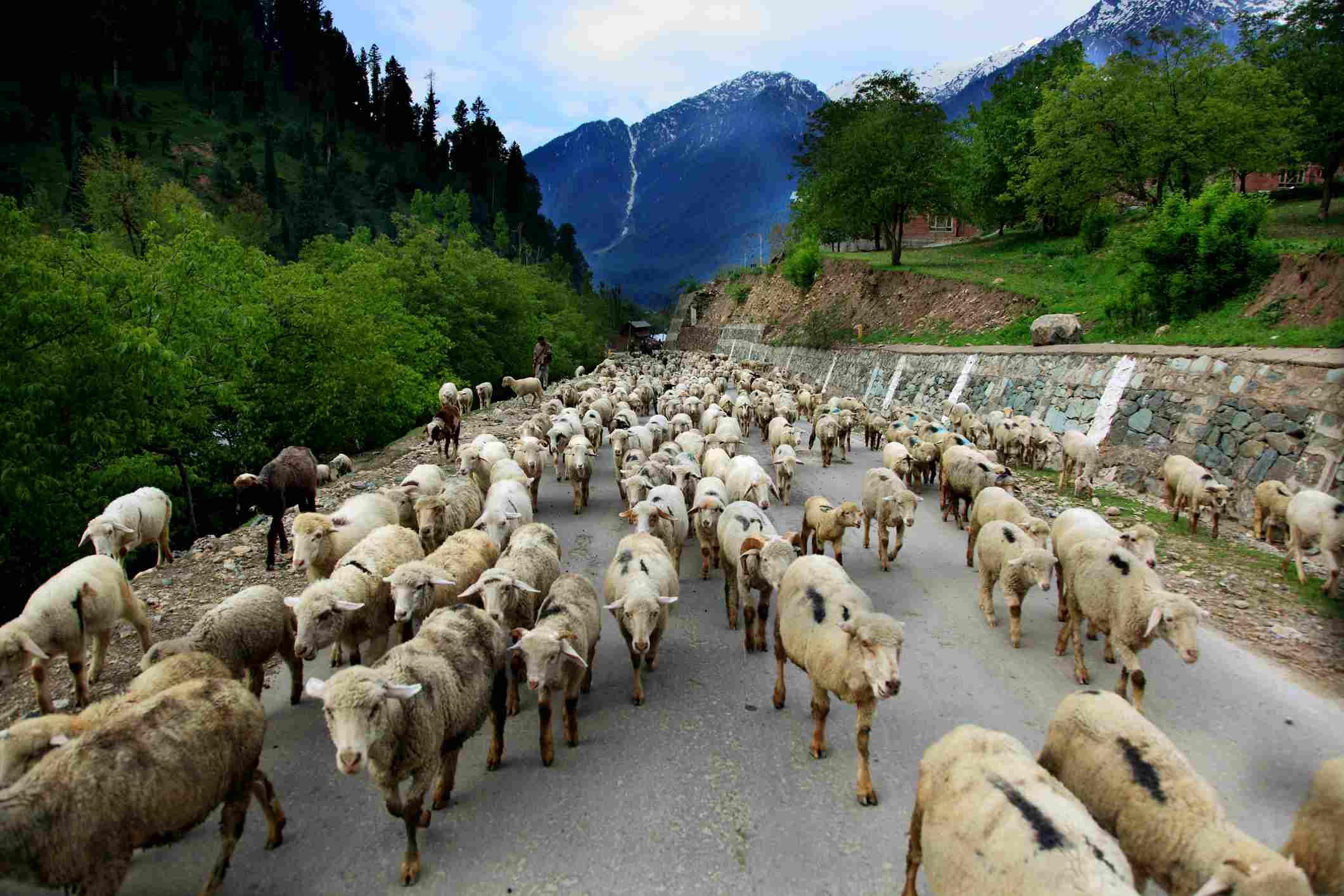 Shepherd on Pahalgam Road