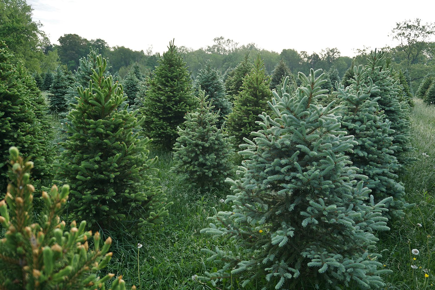 Christmas Tree Farms Near Washington, D.C