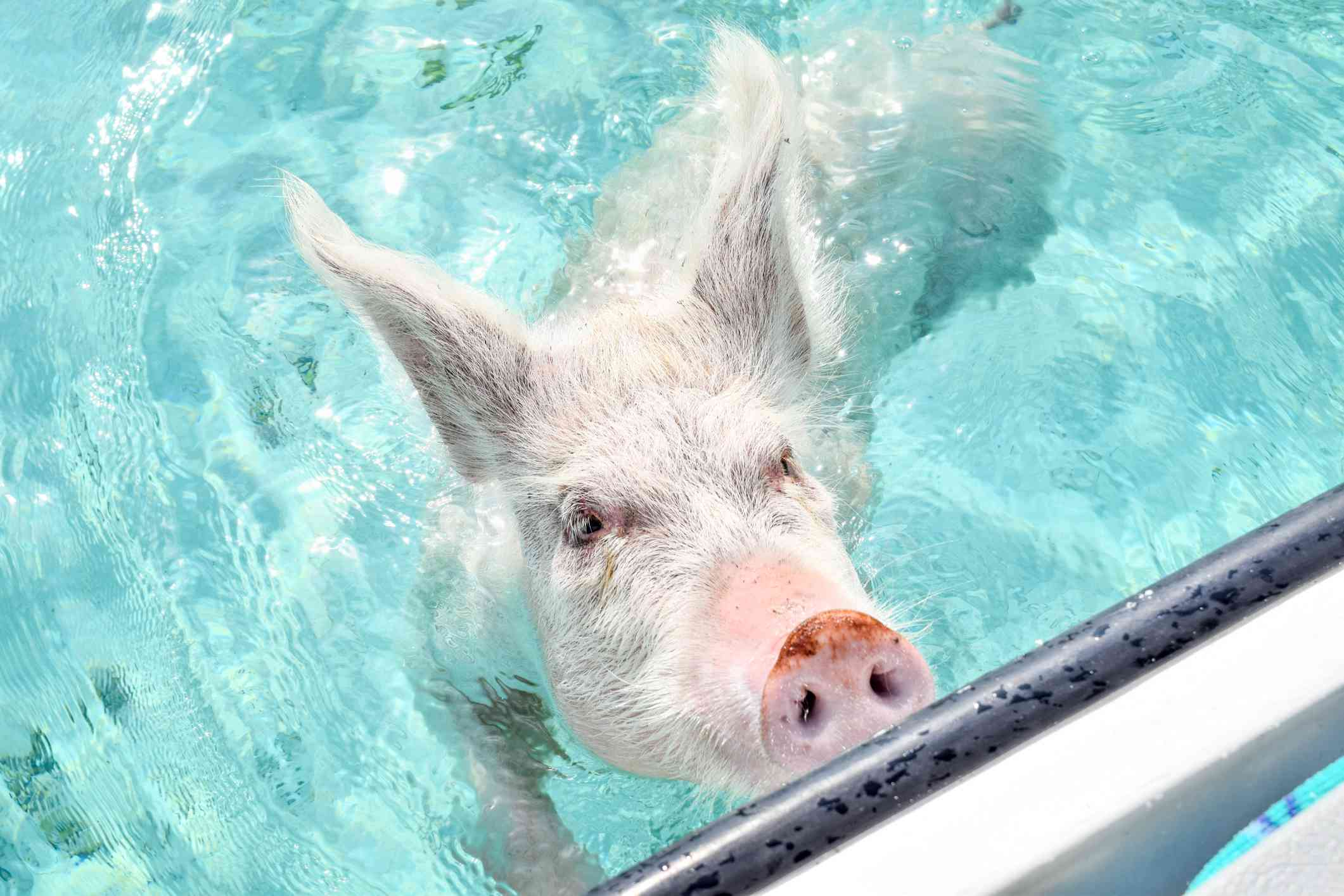 A pig swimming up to a boat in the Bahamas
