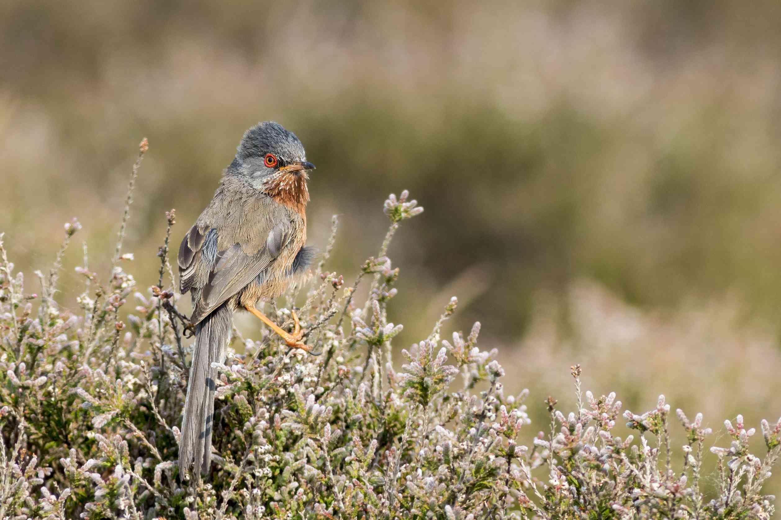 Dartford warbler perching on top of a bush
