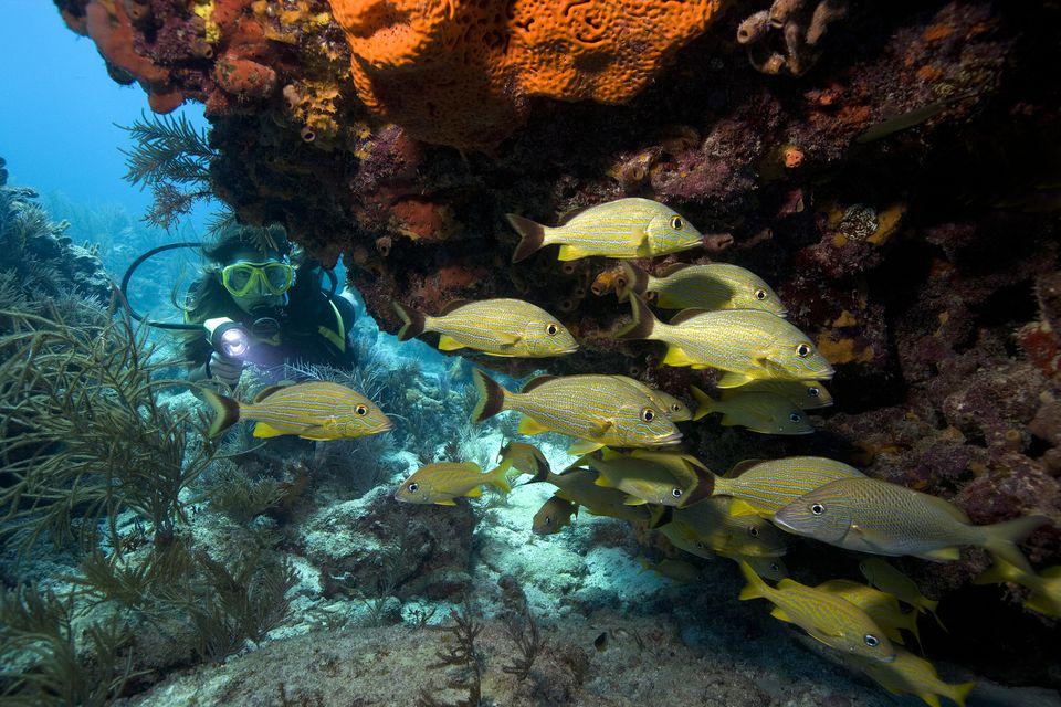 Diver Watching School of Bluestriped Grunts
