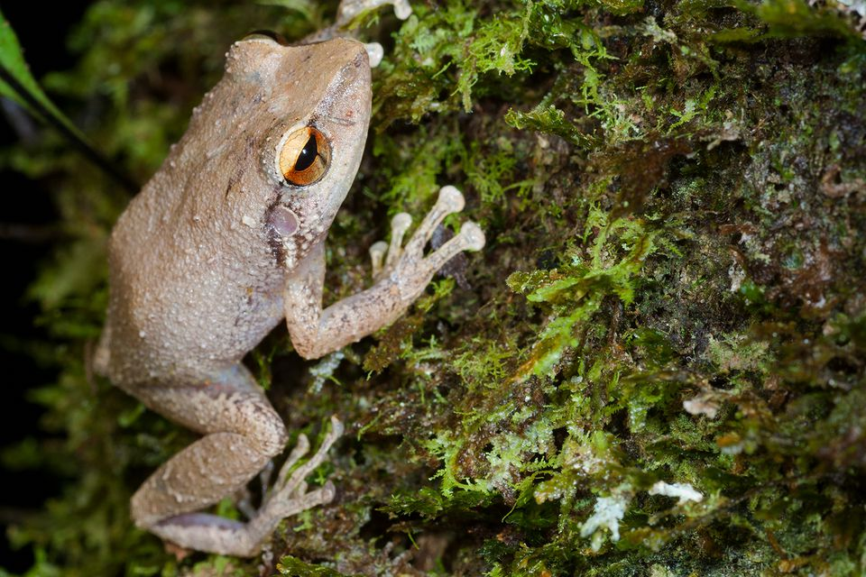 coquí tree frog