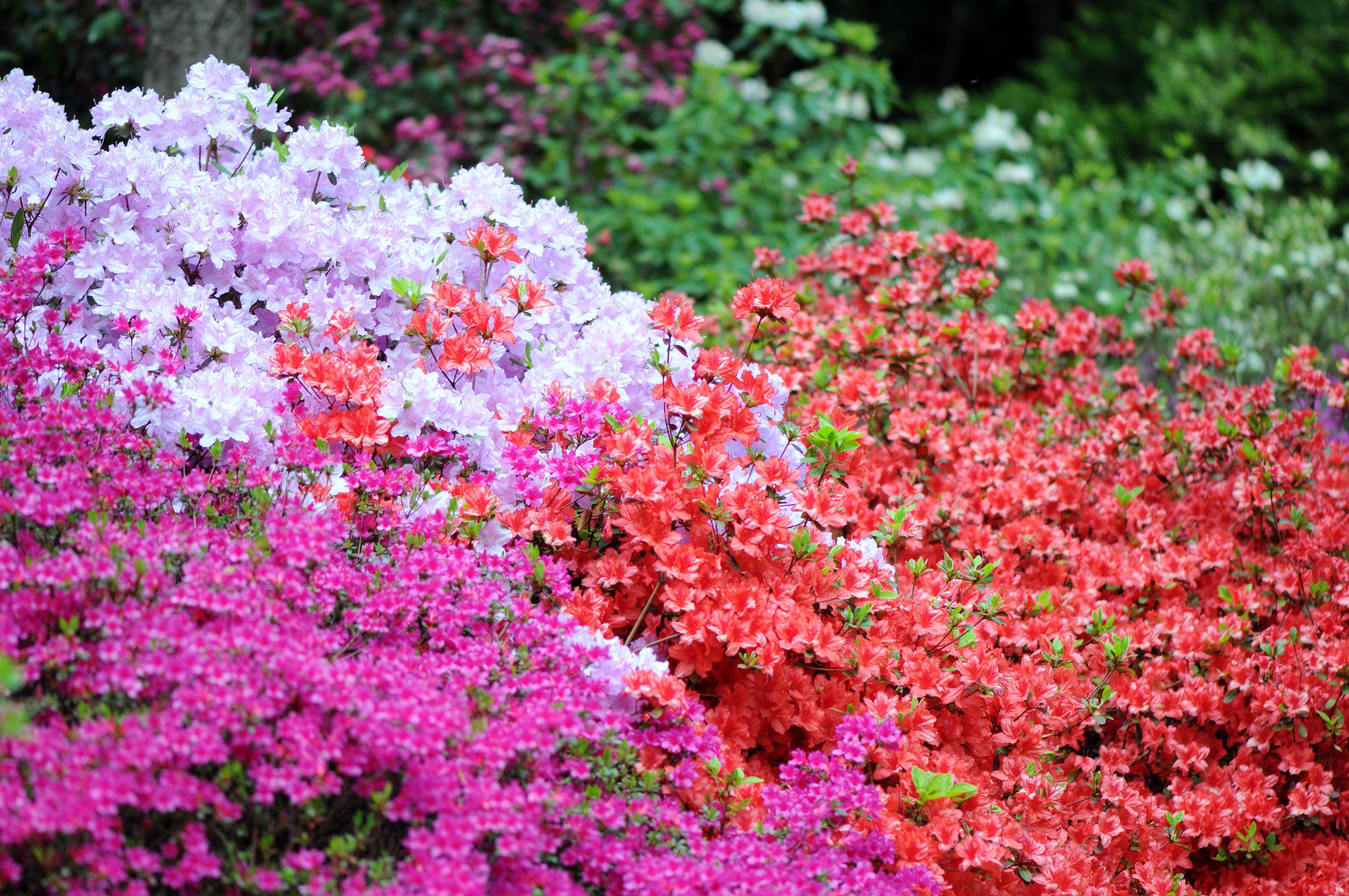 Varias plantas de azalea que crecen en el parque