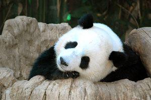 Panda Bear at the San Diego Zoo