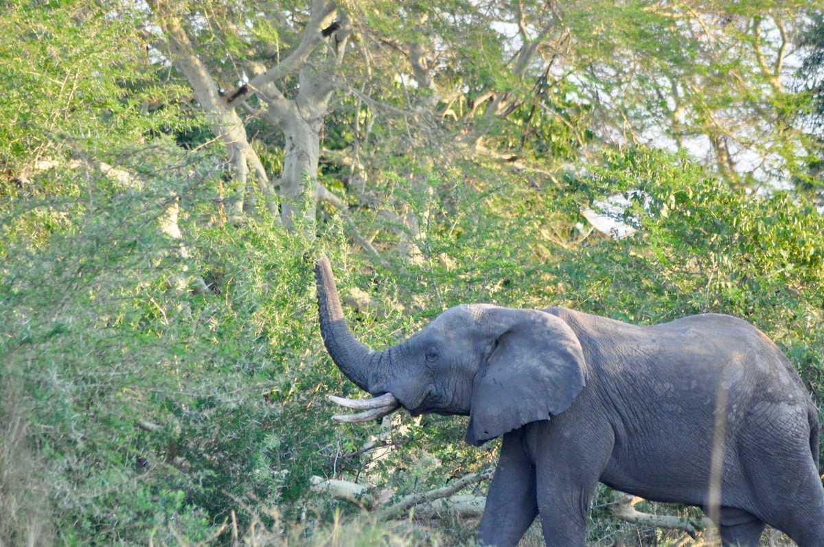 elefante en Malawi