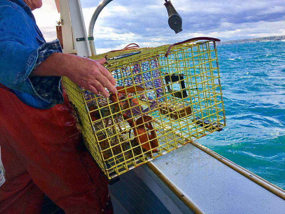 Man catching a lobster on a Finestkind Scenic Cruise