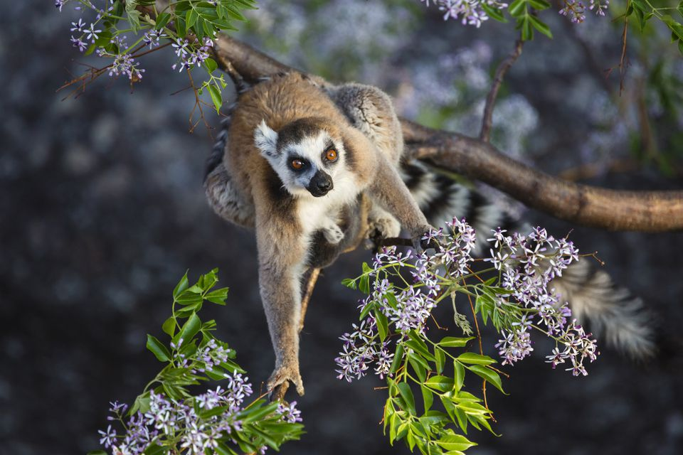 Ring-tailed lemur in a tree, Madagascar