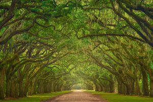 Oak lined street of Wormsloe Plantation in Savannah, Ga