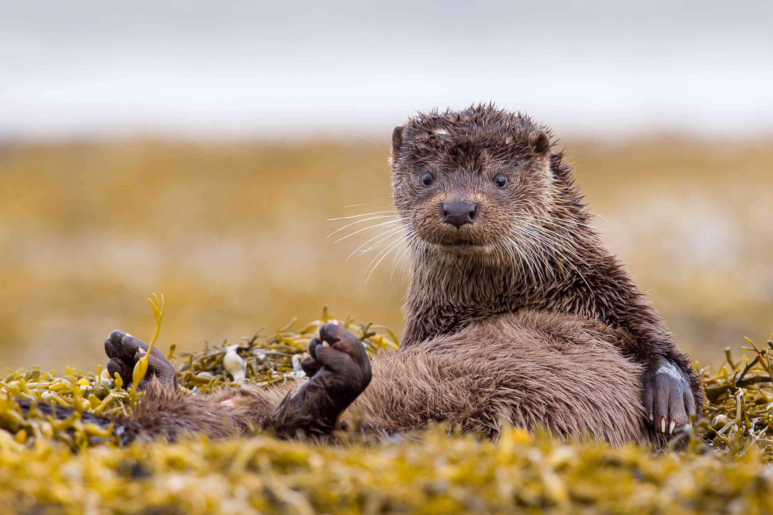 European otter on the Isle of Mull, Scotland