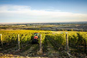 Rows of grape vines in walla walla washington