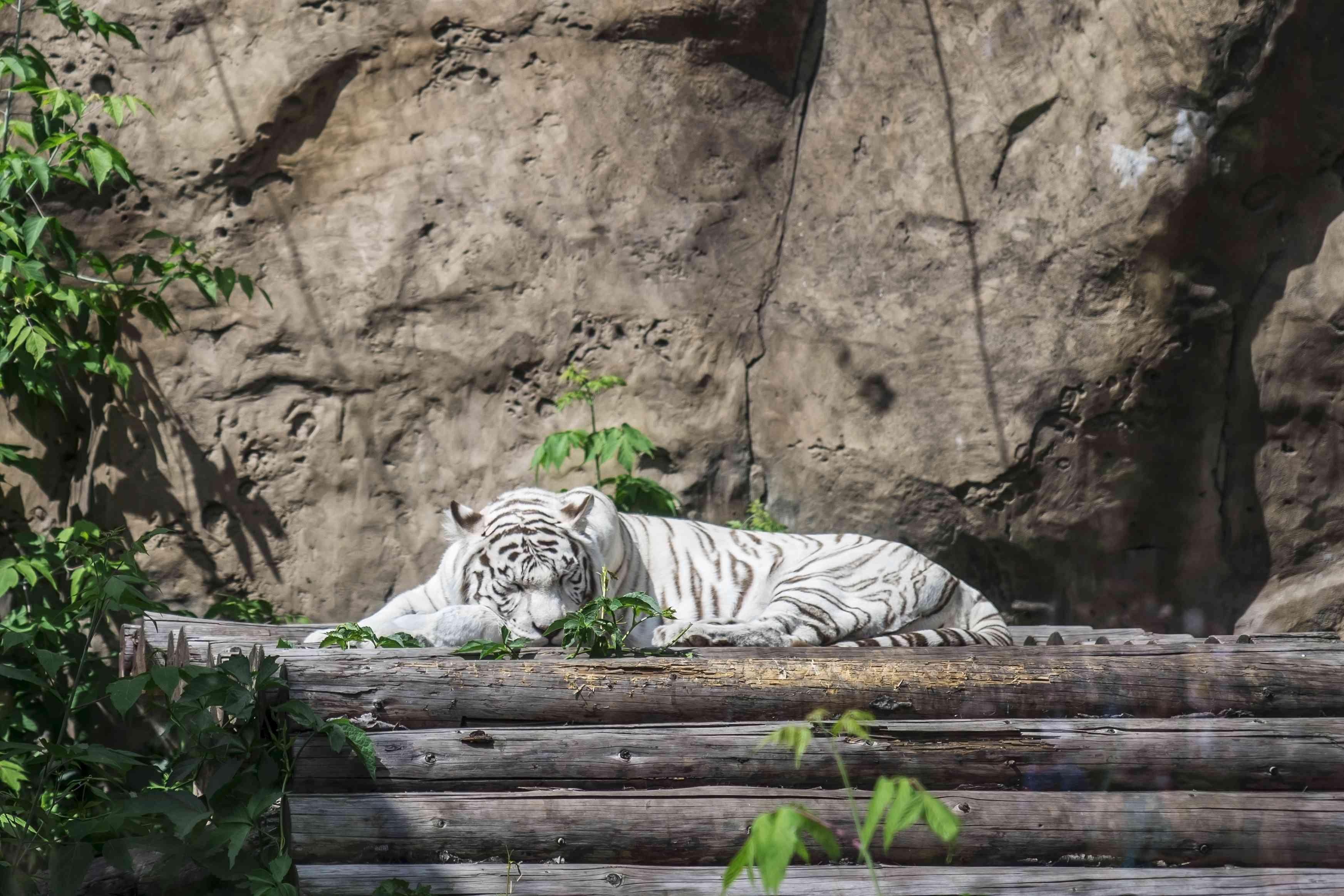 Sleeping white tiger at the Belgorod Zoo