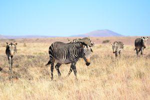 Herd of Cape mountain zebras, Mountain Zebra National Park