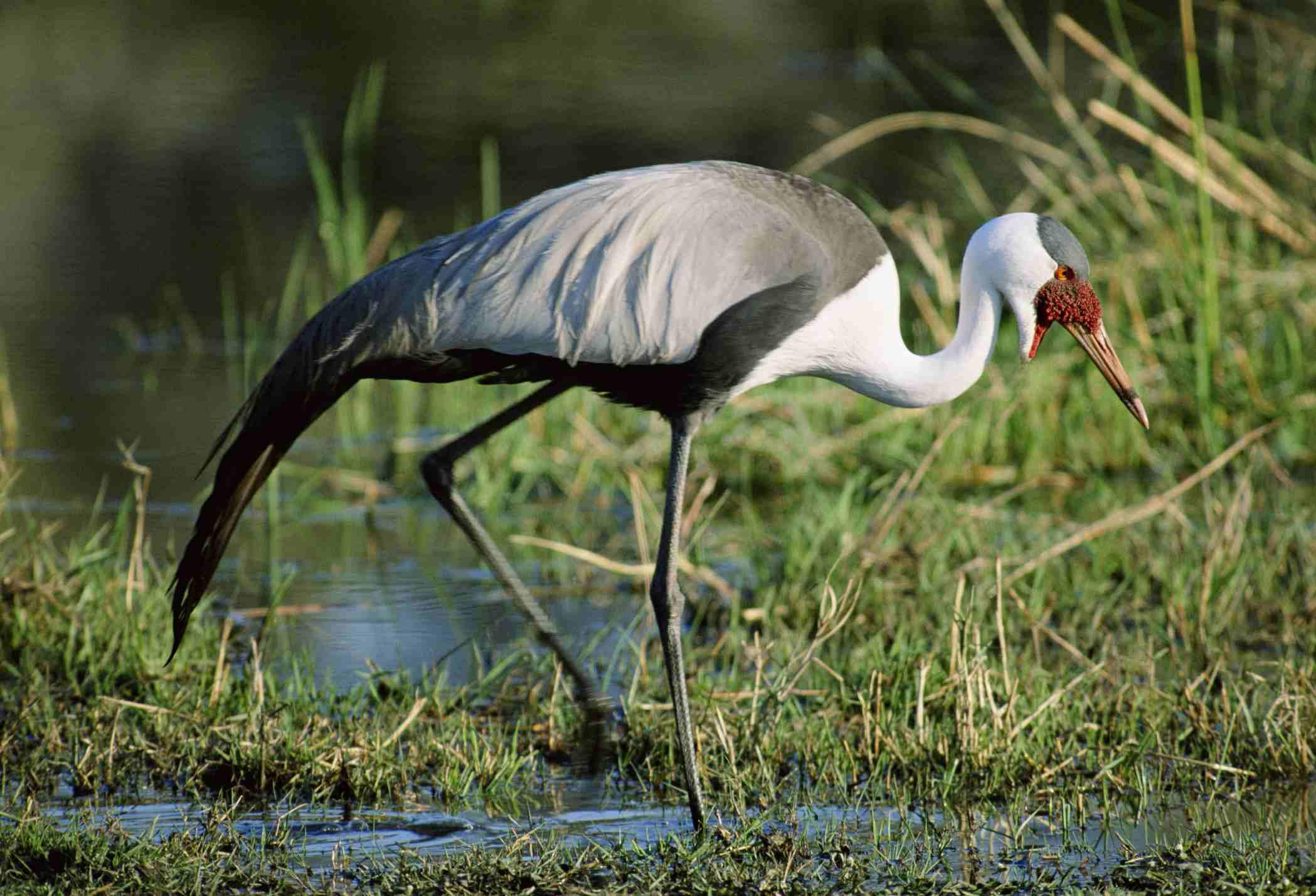 Wattled Crane, Southern Africa Best Birding