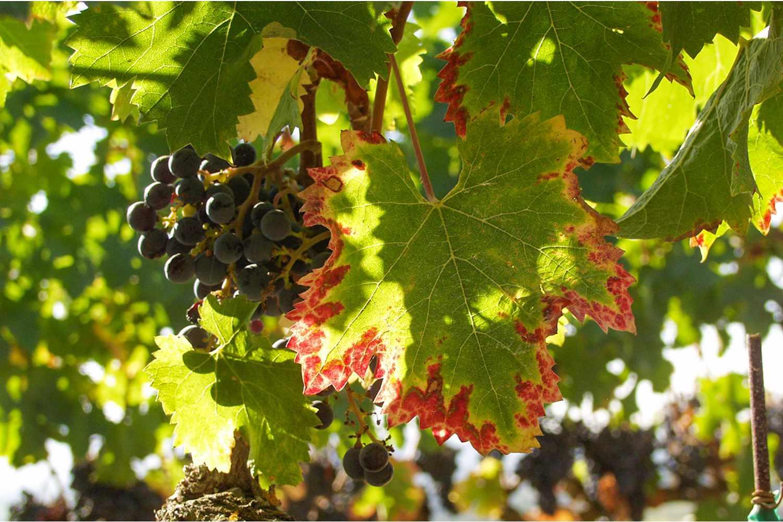 Vineyard at Signorello