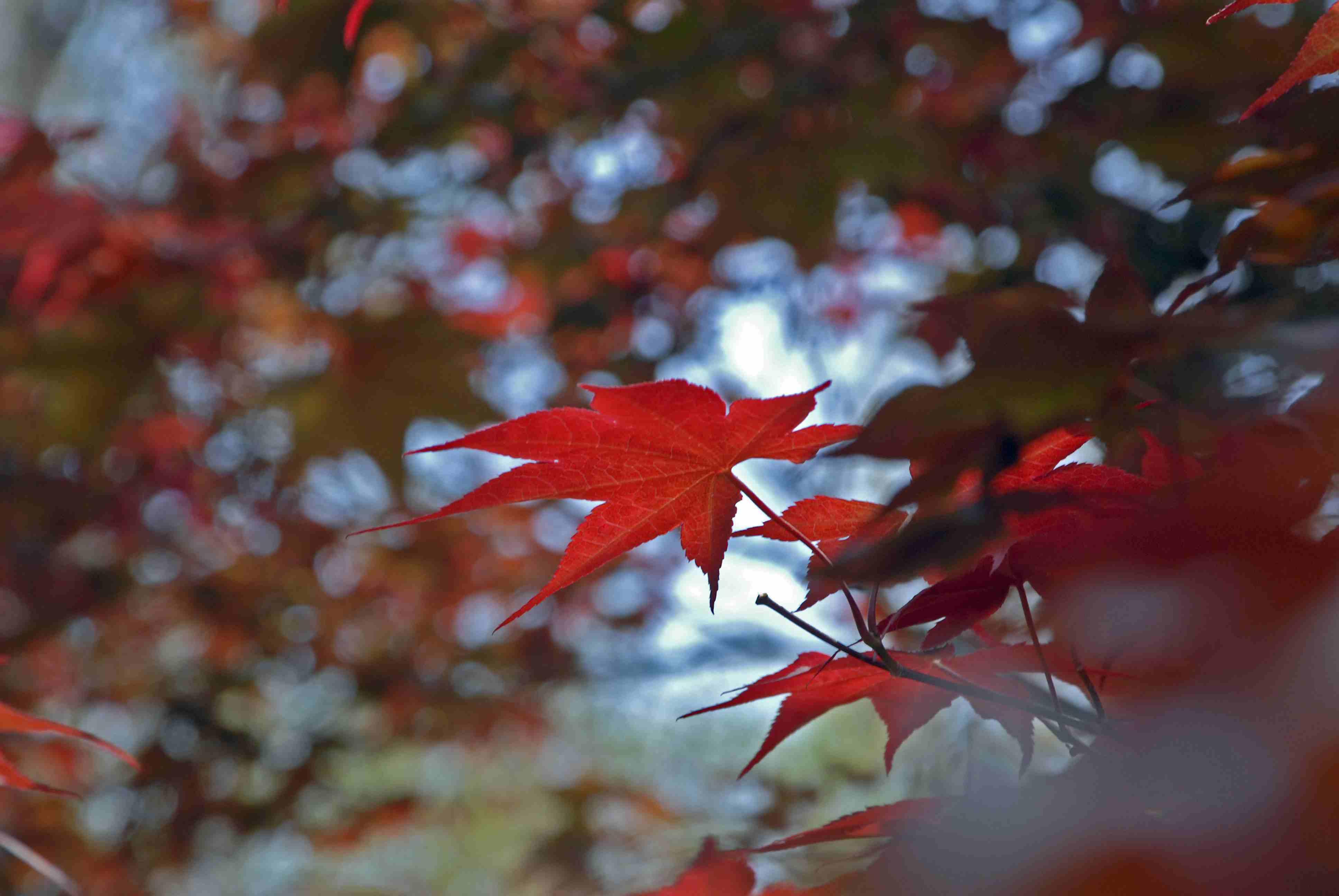 Maple tree, Kansas, USA
