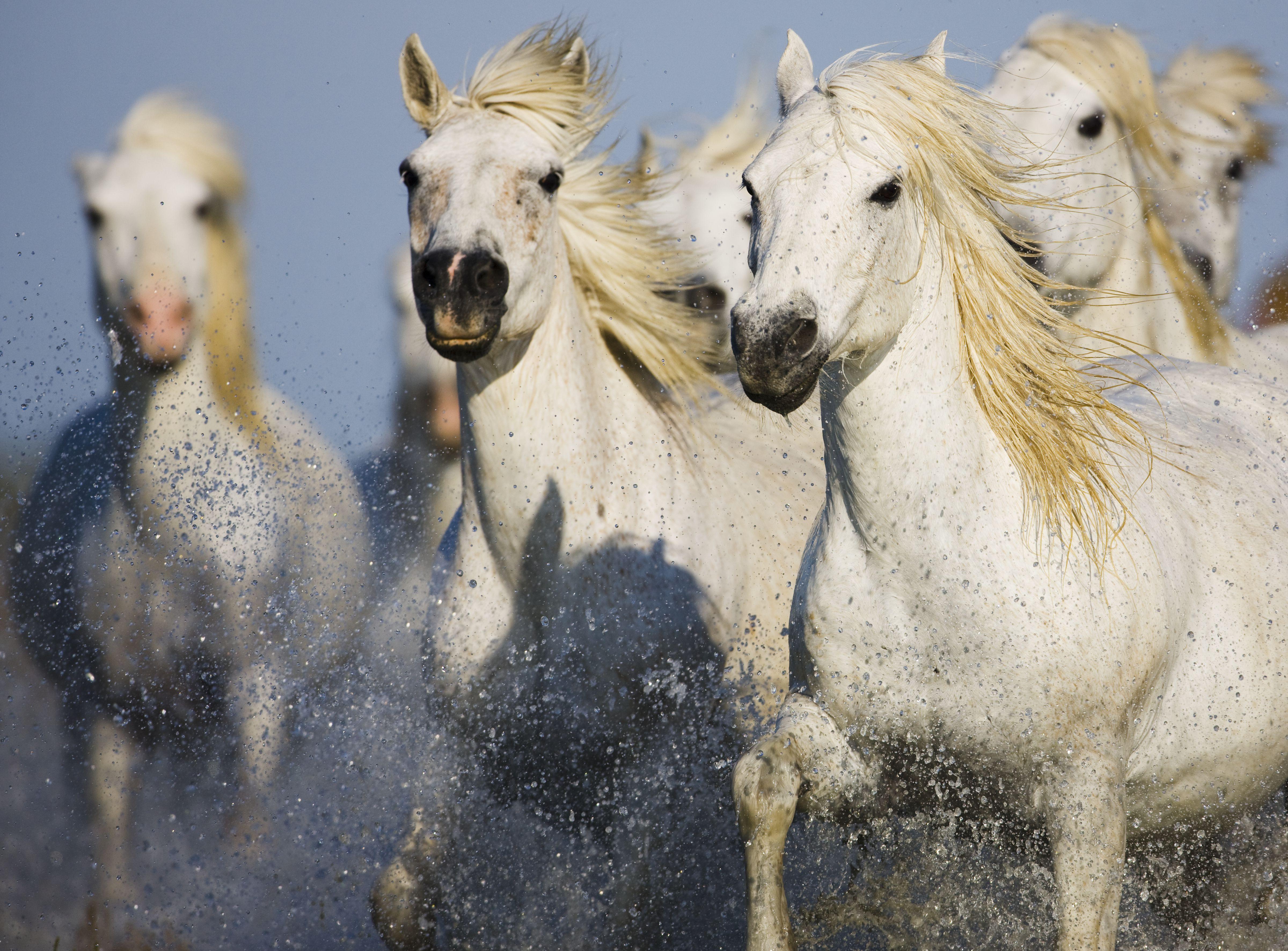 Camargue horses running in marsh