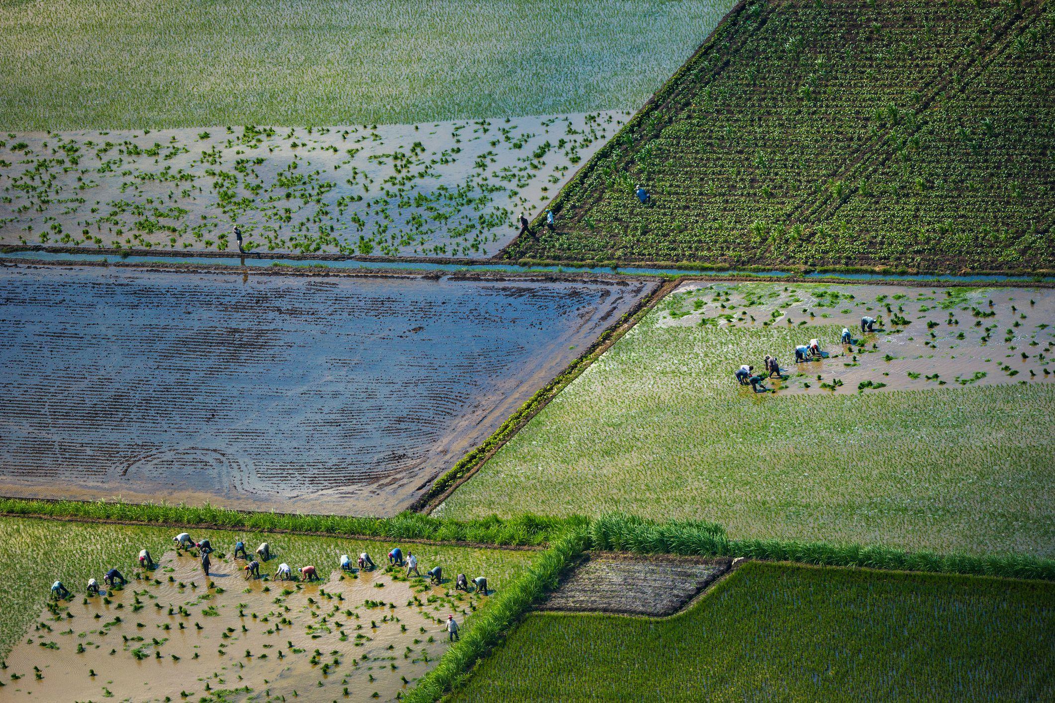 Rice farmers in the Nile Delta, Egypt