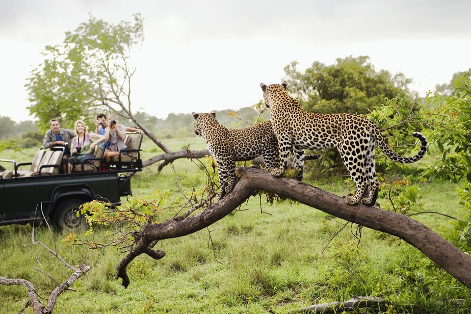 Leopards and safari goers observing each other