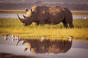 White rhino at Lake Nakuru, Kenya