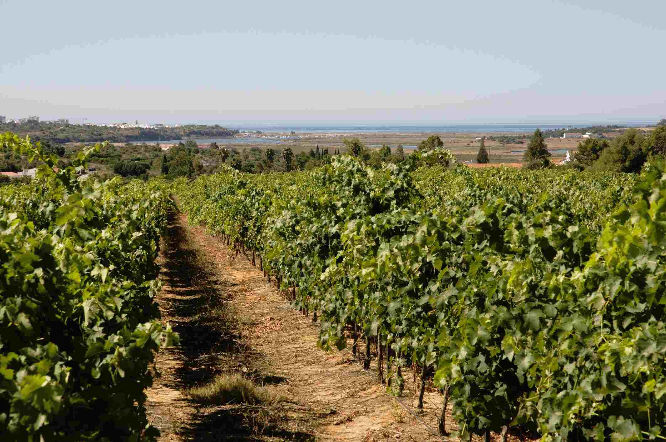 Vineyards of Quinta do Morgado da Torre winery near Portimao, with River Arade and Algarve coastline in background.