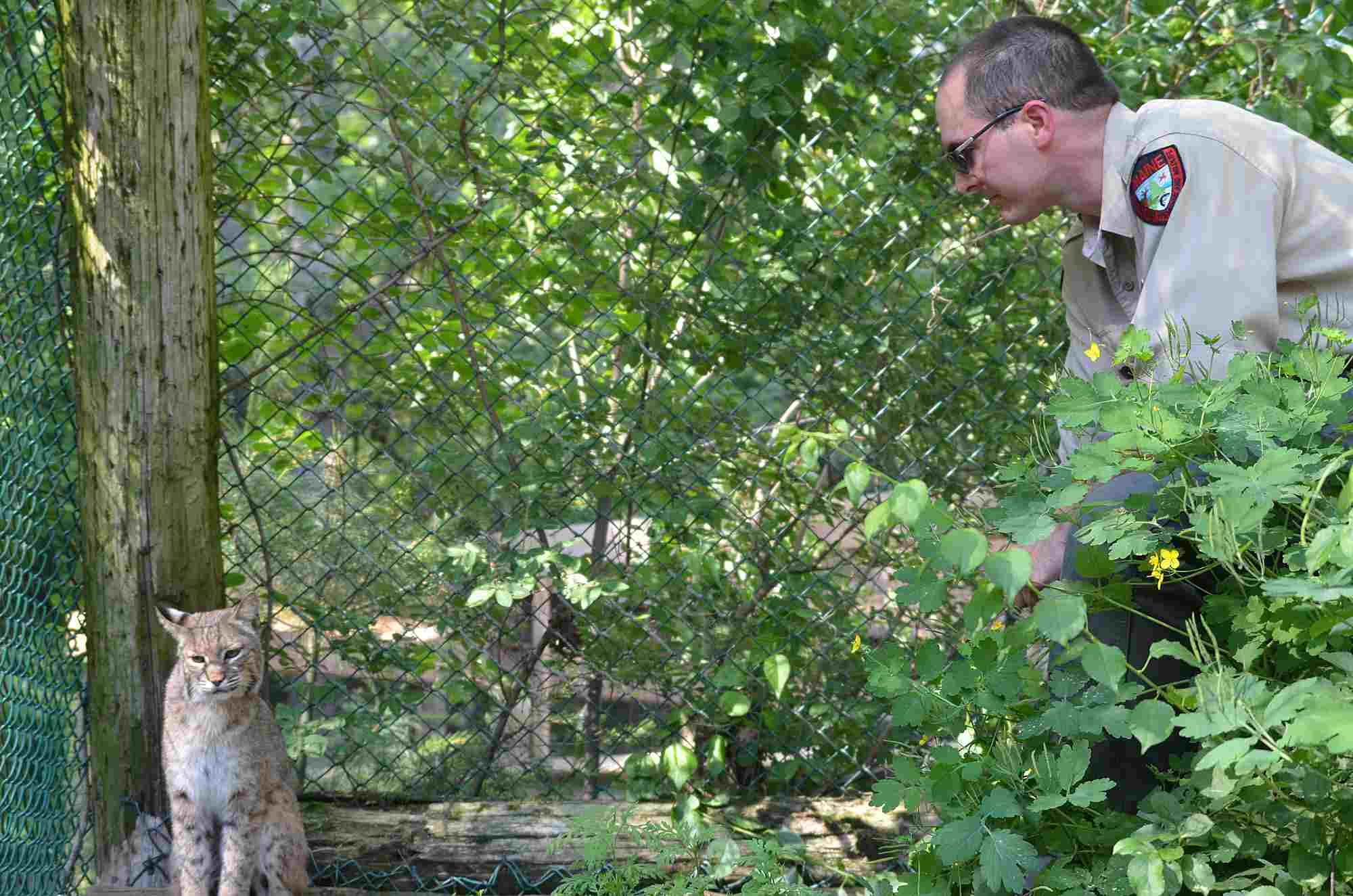 Maine Wildlife Park Superintendent Curt Johnson and Bobcat