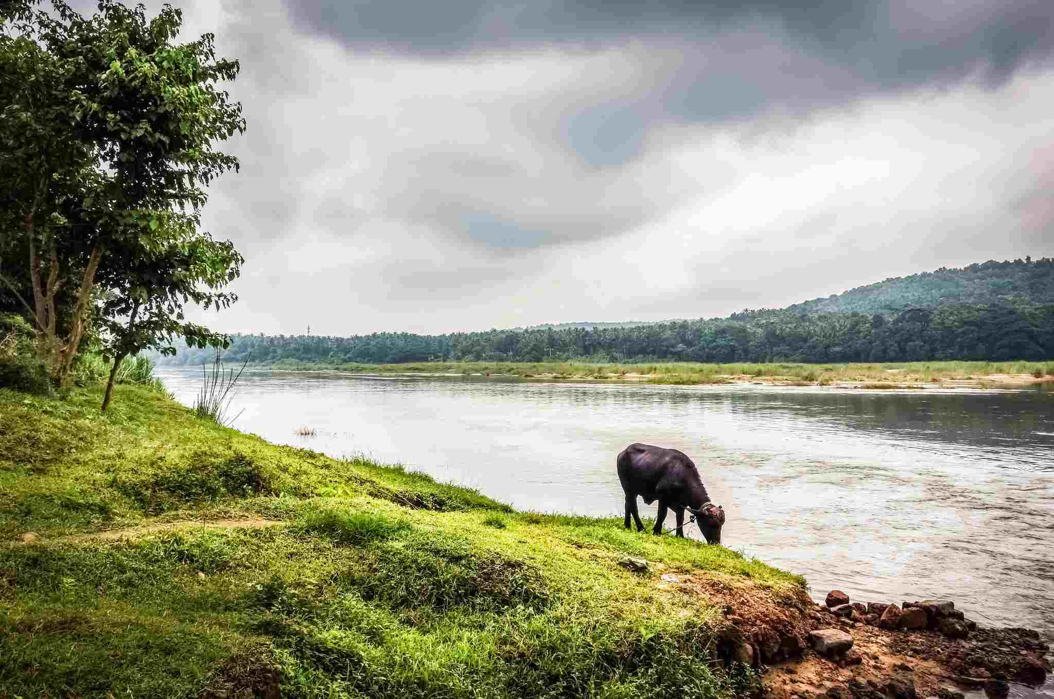 Búfalo junto al río Nila