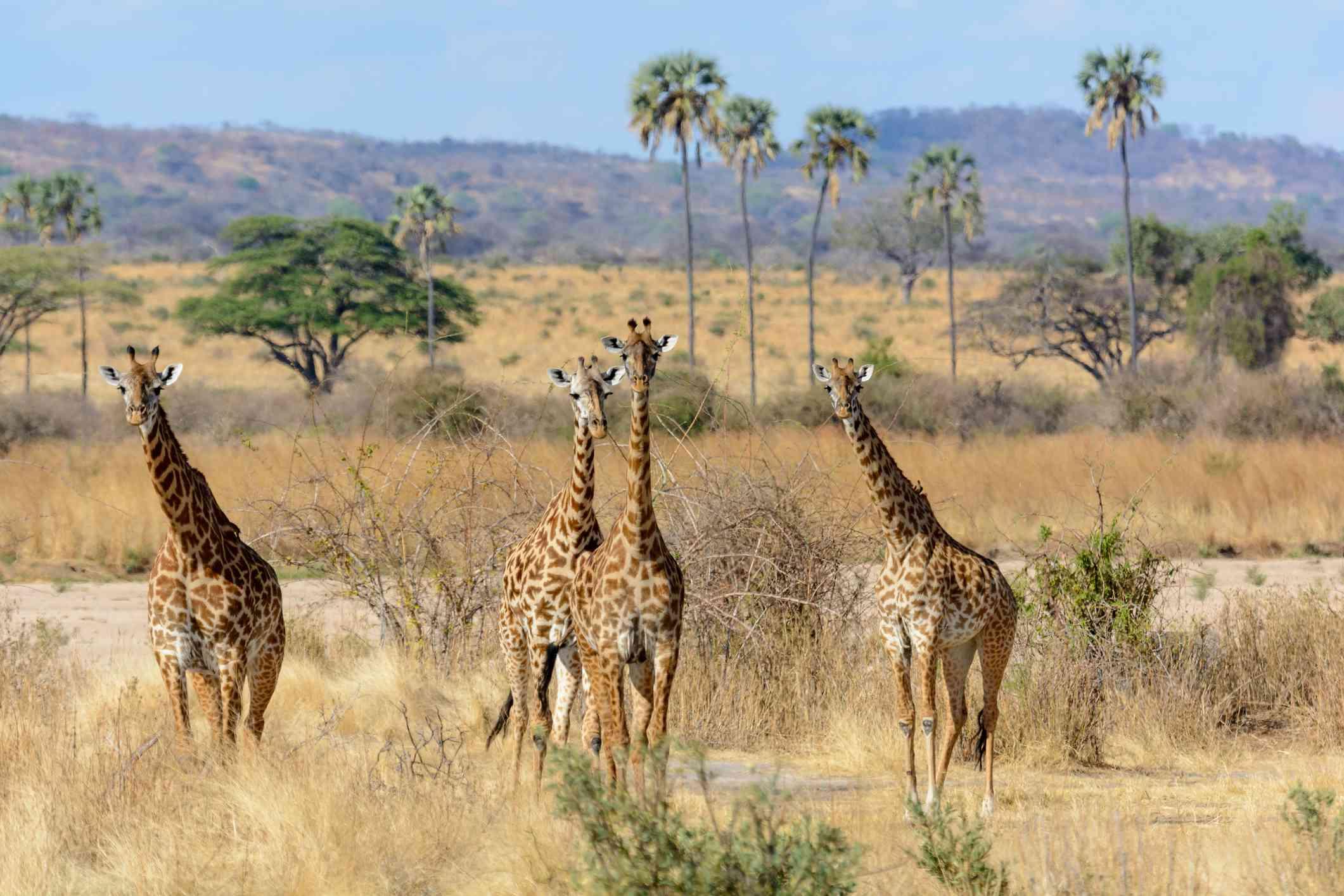Four Maasai giraffes or Kilimanjaro giraffes walking in Ruaha National Park, Tanzania