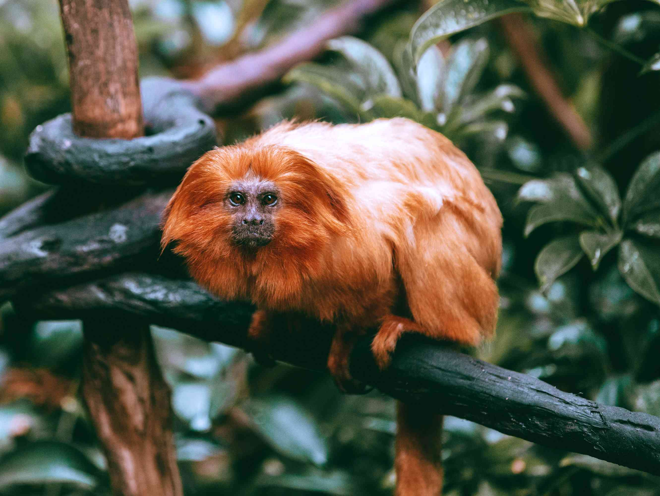 Monkey at the Auckland Zoo