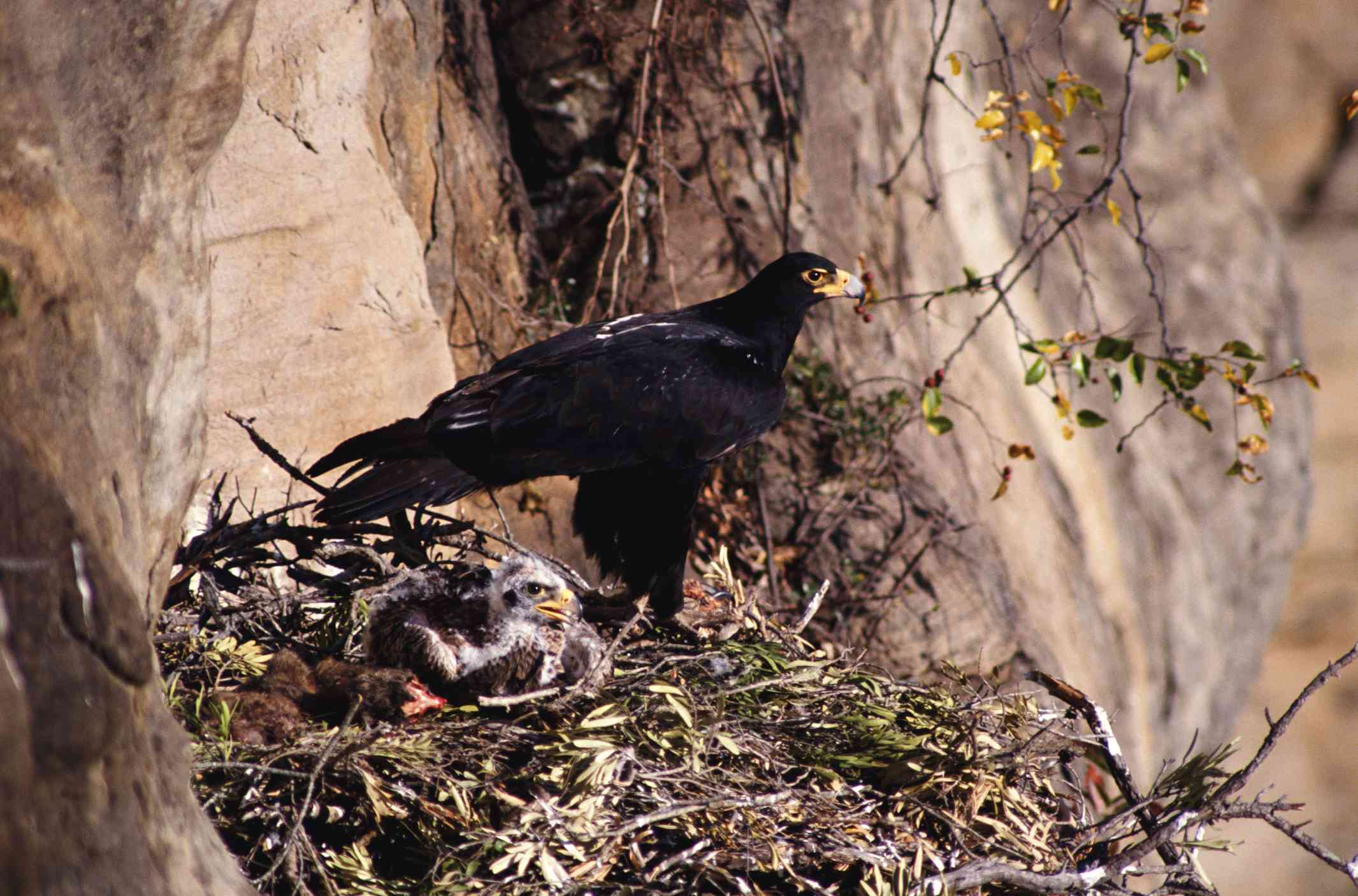 Nesting Verreaux's eagle and chick, South Africa
