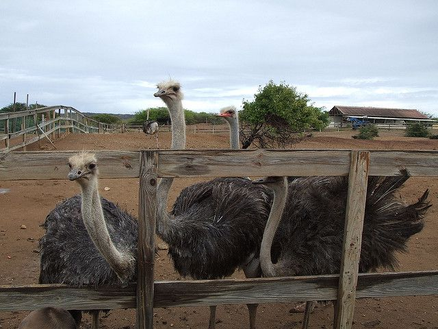 Four ostriches in the foreground (and one in the background) in a large enclosure surrounded by a wooden fence on Curaçao Ostrich Farm.