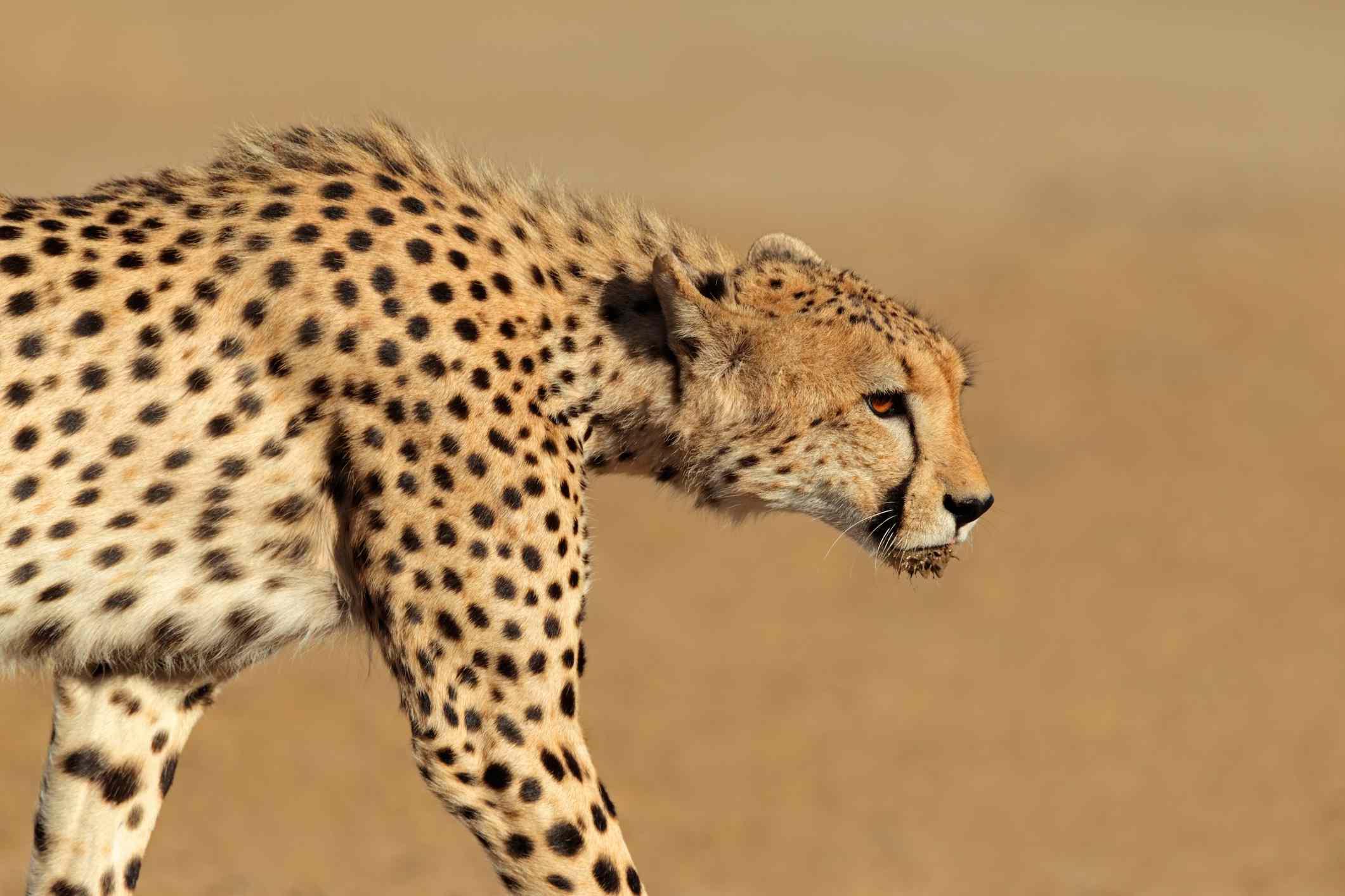 Close-up of a stalking cheetah