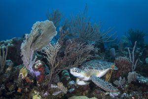 Green Sea Turtle on the Reef