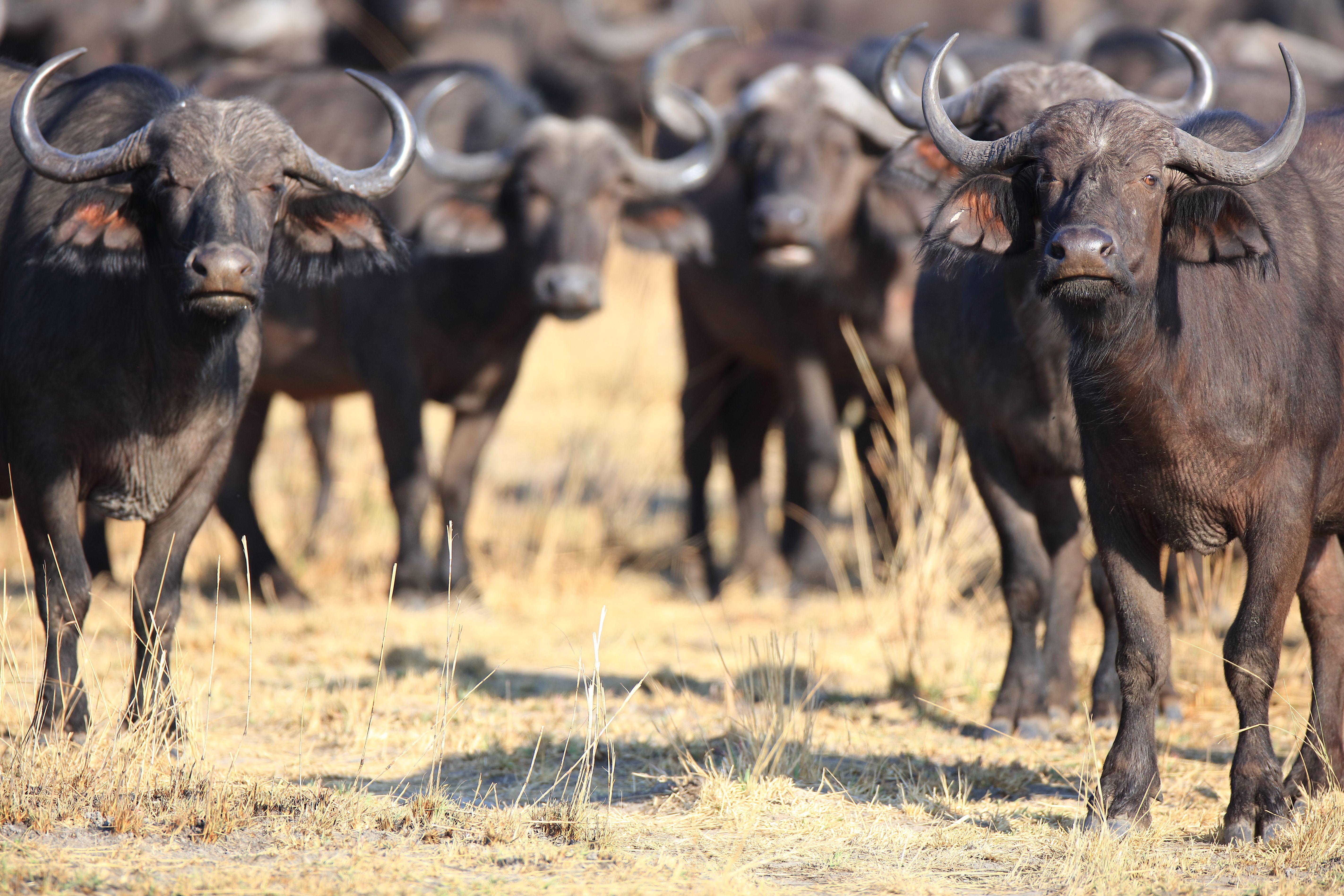 Top 10 List of Africa's Most Dangerous Animals
