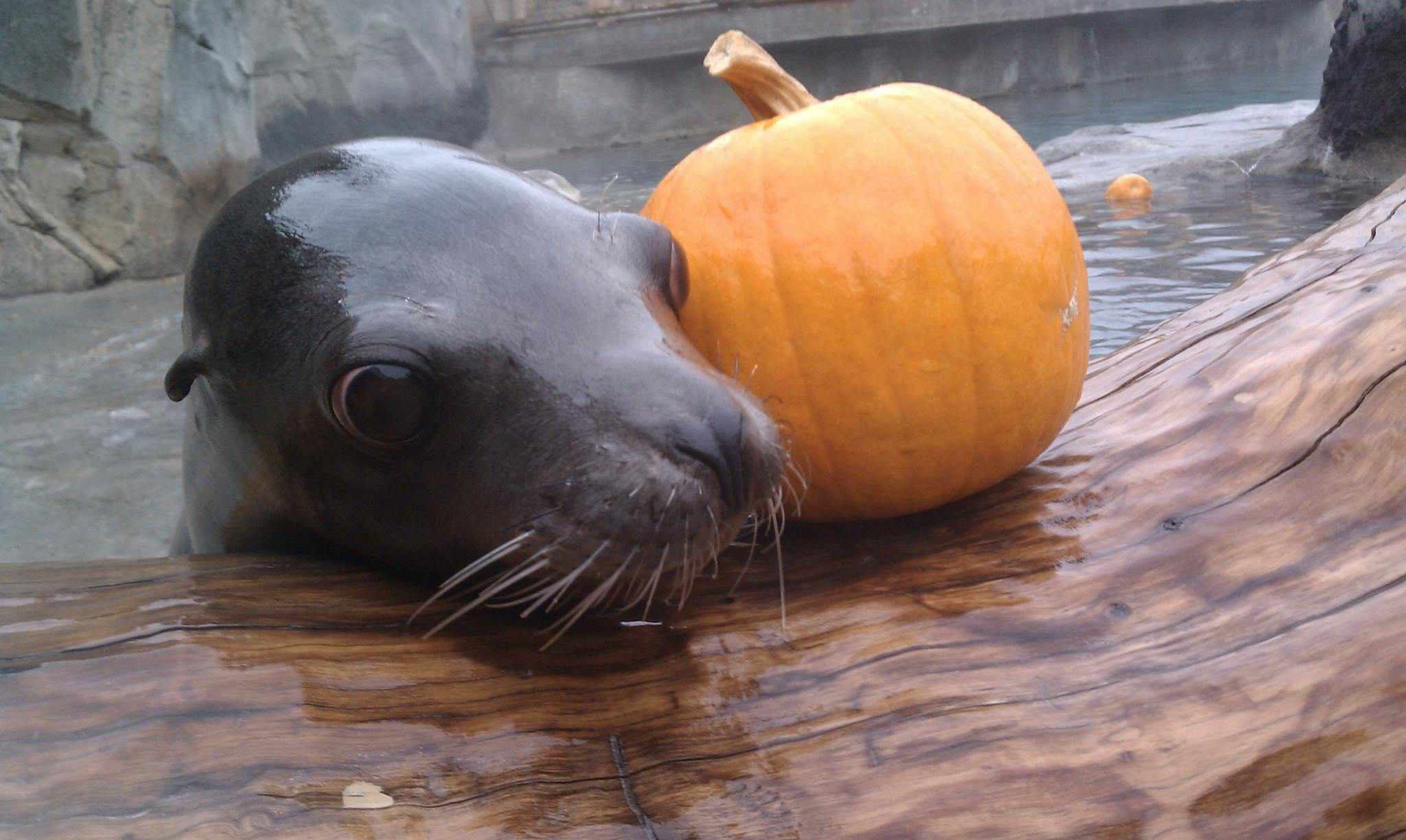 Seal with pumpkin