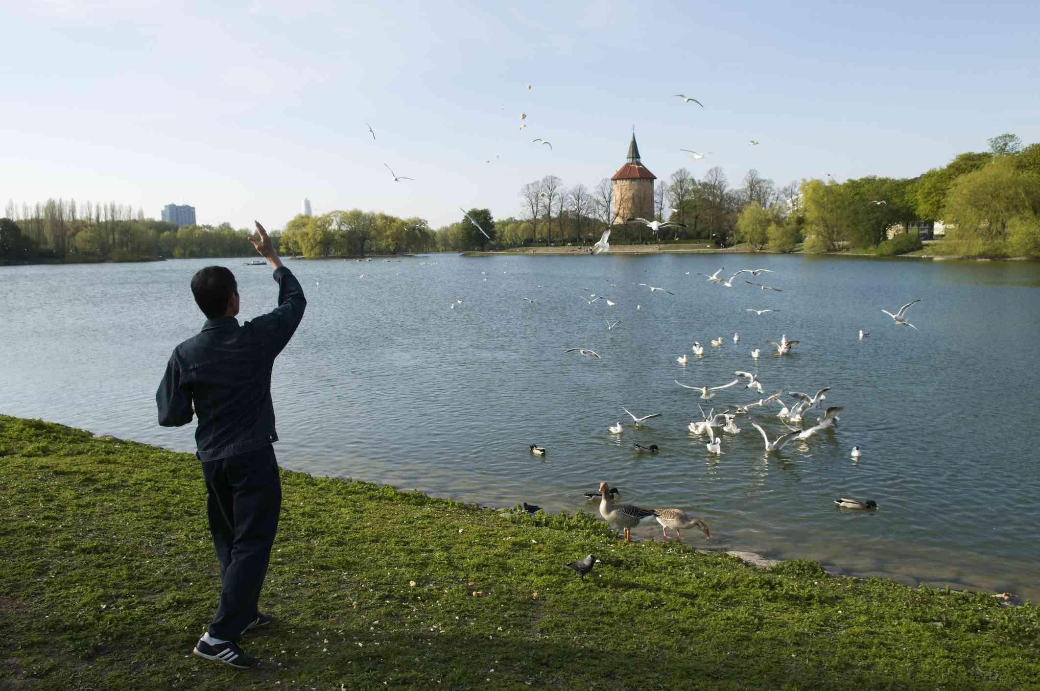 Man feeding birds in lake in Pildammsparken