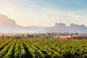 Vineyards at Nashik.