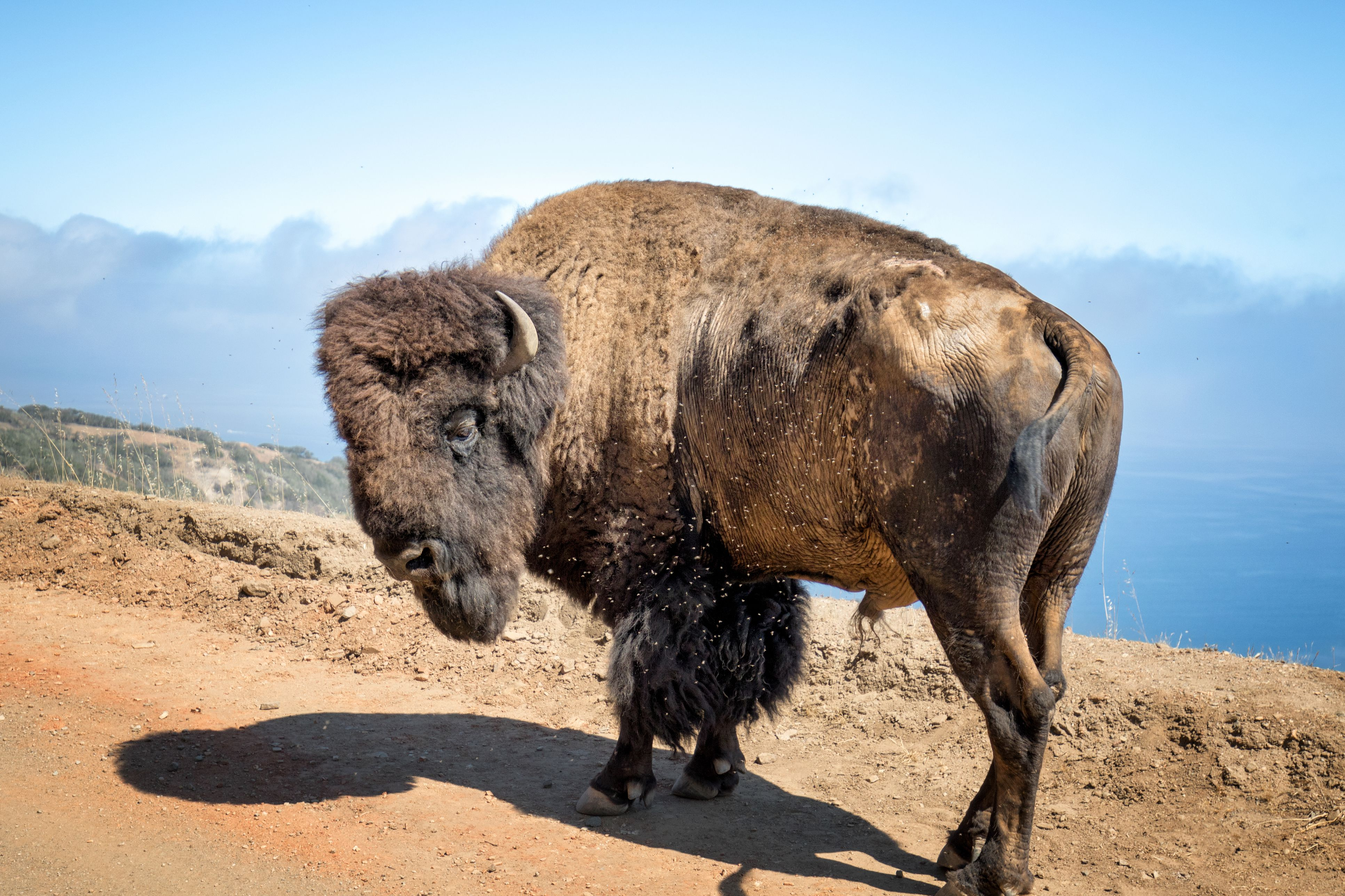 Catalina Island Bison