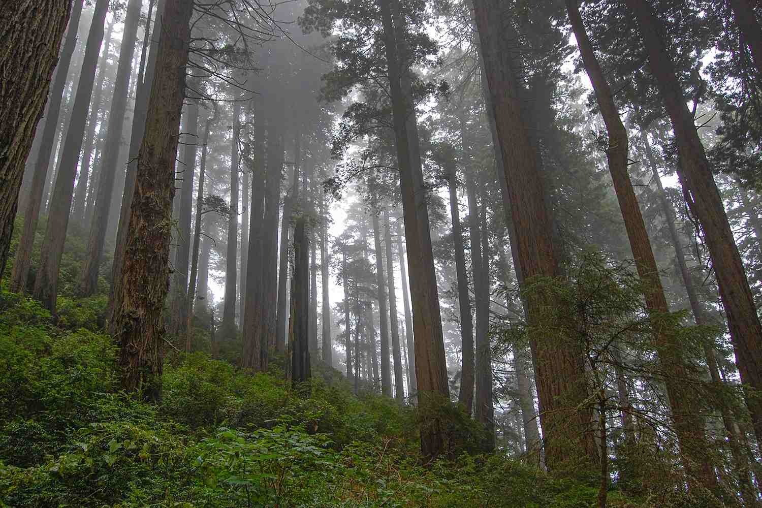 Foggy Morning in the Redwood Forest