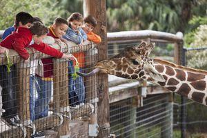 Group of kids feeding giraffe at zoo